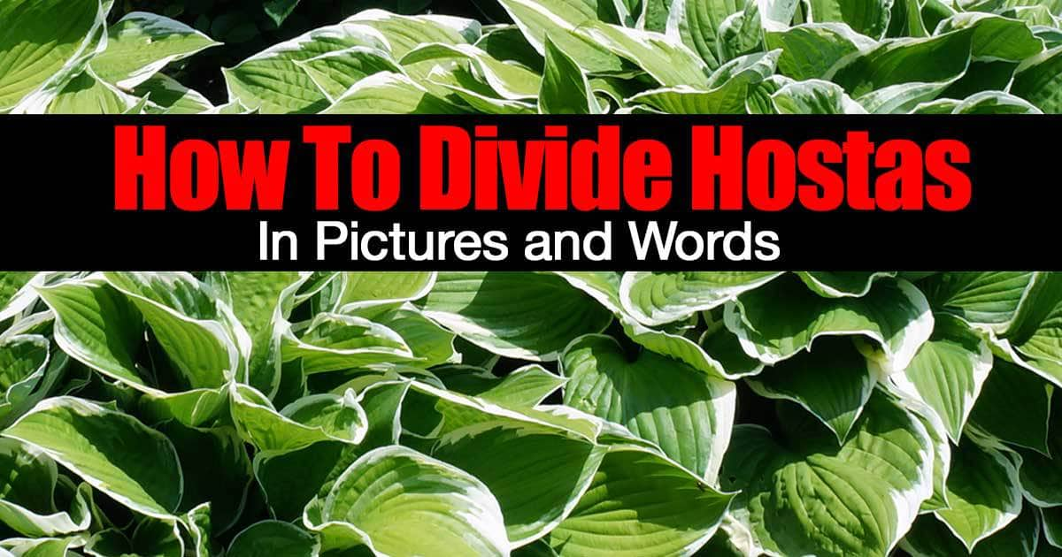 How To Divide Hostas In Pictures And Words