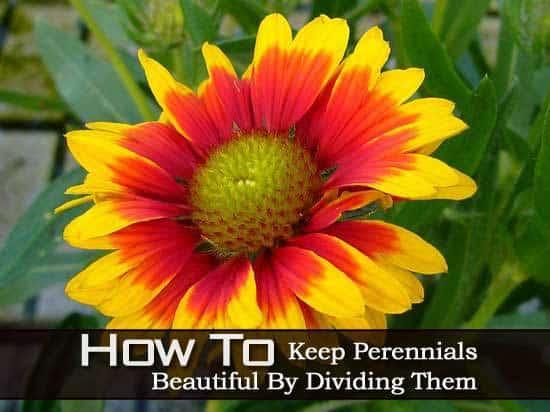 divide-perennials-091113
