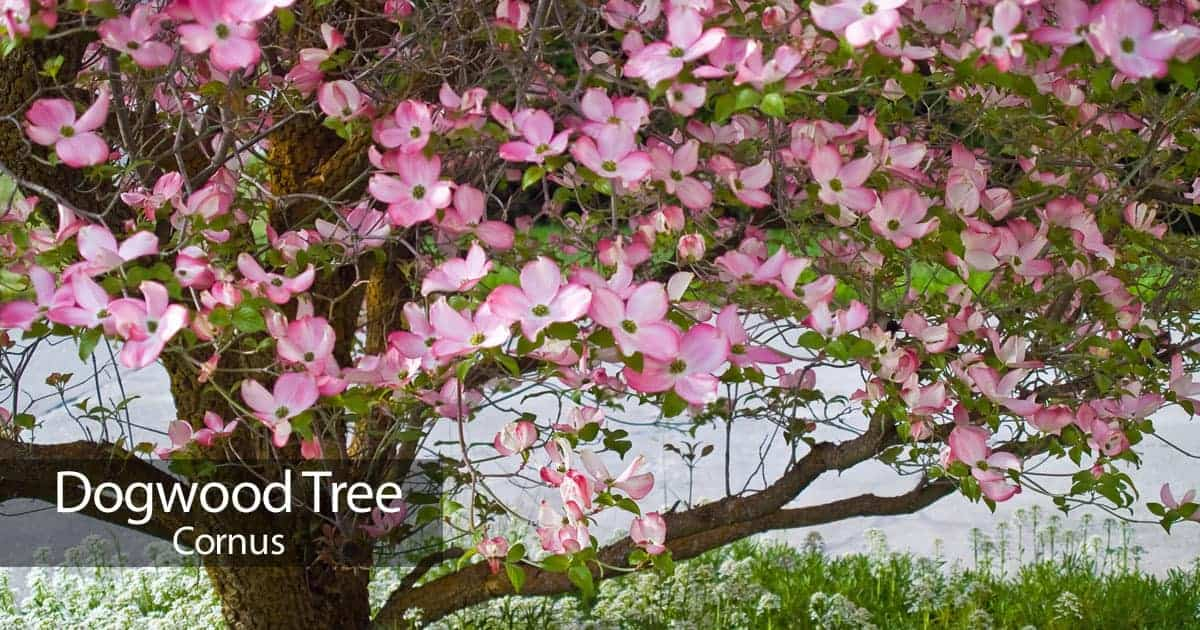Dogwood tree how to care for the beautiful flowering dogwood dogwood blooming 93020152601 mightylinksfo