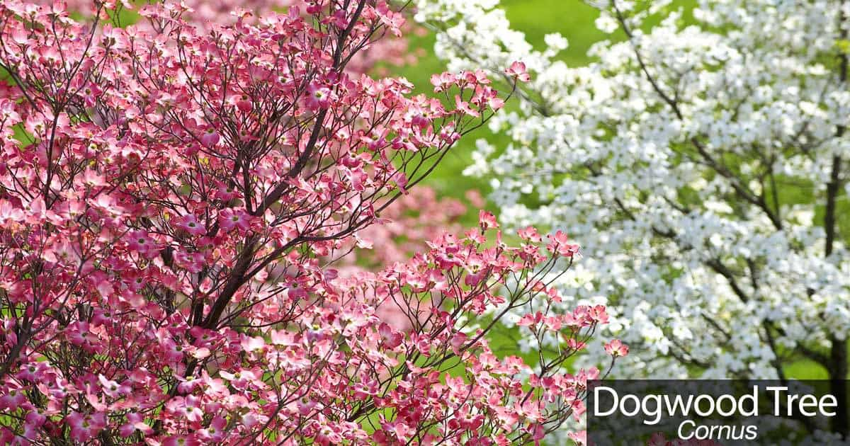 Dogwood Tree How To Care For The Beautiful Flowering Dogwood