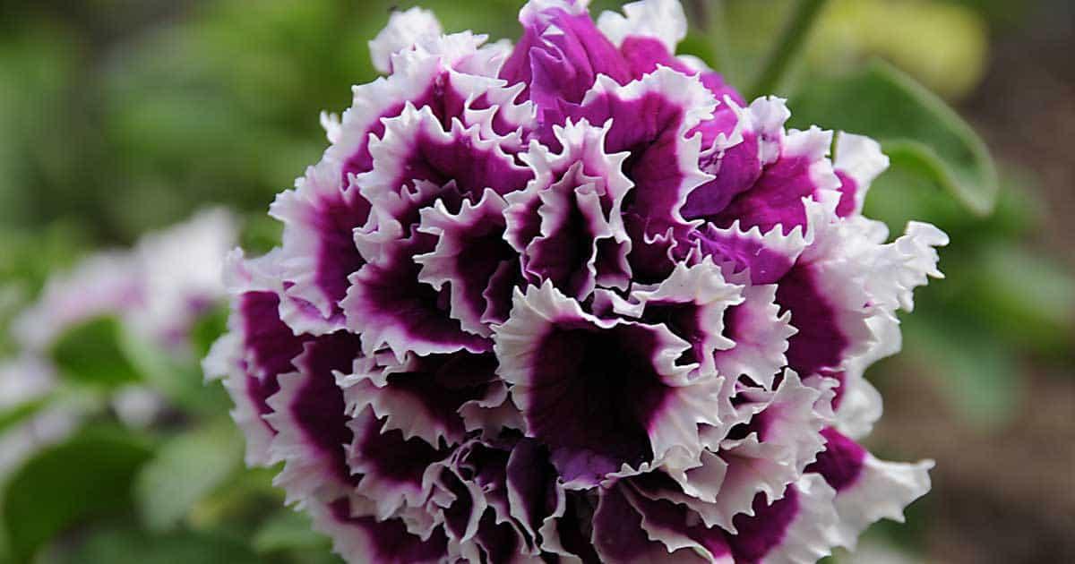 double petunia flower