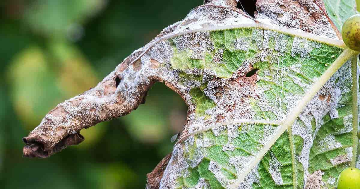 grape leaves covered with mildew (downy)