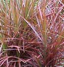 dracaena-colorama-small