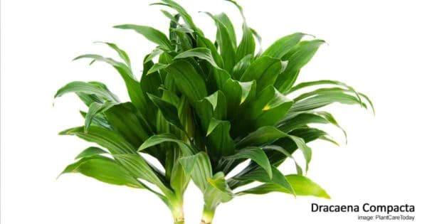 Attractive bushy dark green leaves of Dracaena Janet Craig compacta