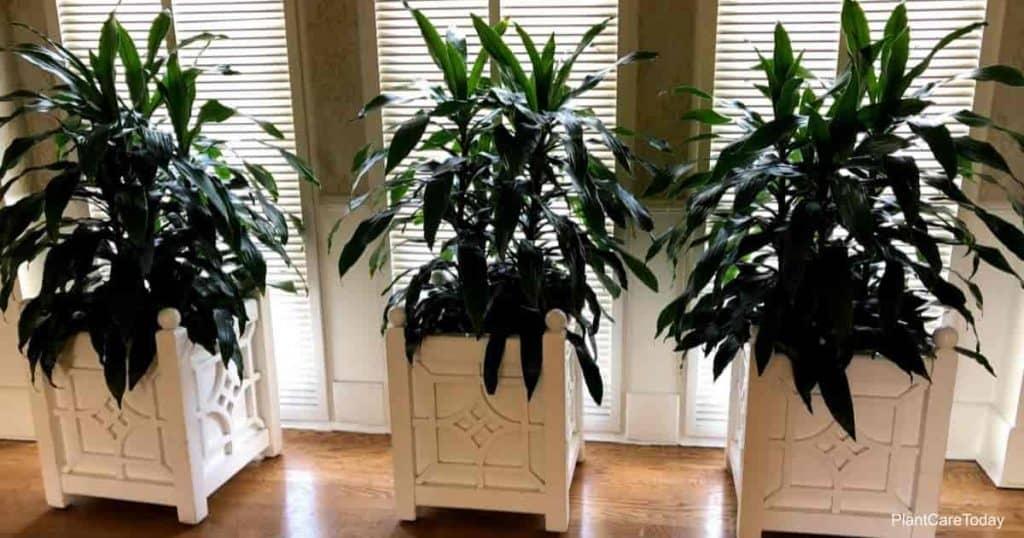 Foliage plants Dracaena deremensis Janet Craig at Walt Disney World, looking good under the right light conditions.
