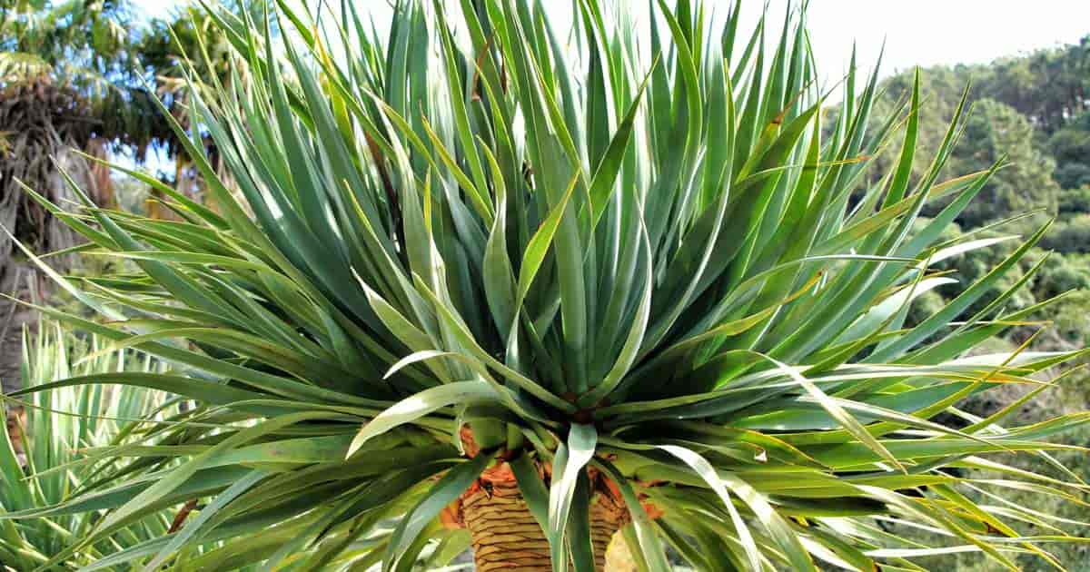Foliage of the Dragon Blood Dracaena