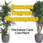 Dracaena Fragrans Massangeana: The Indoor Cane Corn Plant