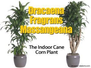 Dracaena fragrans massangeana different styles and forms