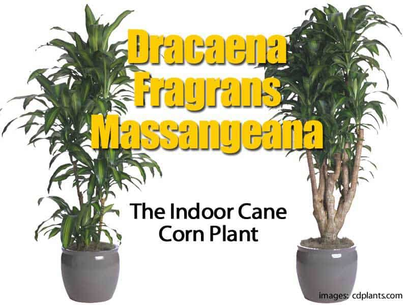 potted dracaena mass cane