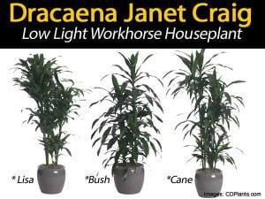 three Dracaena janet craig styles cane bush