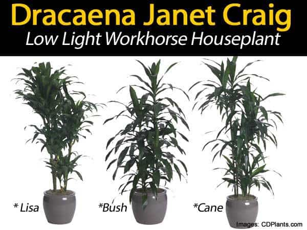 dracaena janet craig different forms