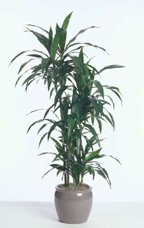 janet craig plant house html with Dracaena Ja  Craig on 6137260 together with IndoorPlantsCatalogue besides Dracaena Ja  Craig furthermore House Detox  mon Indoor Plants To besides Ja  Craig.