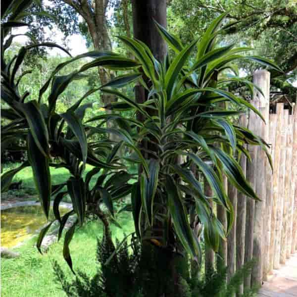 6' foot tall Dracaena Lemon Lime growing outdoors in a pot at the St Augustine, Florida Alligator Farm