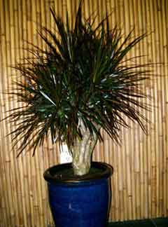 dracaena-magenta-stump