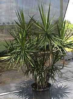 dracaena-marginata-14-exotic