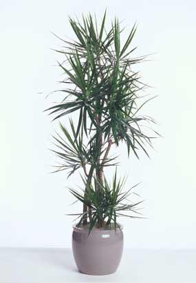 dracaena-marginata-cal-809