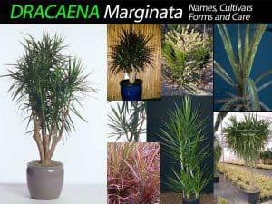 collection of several varieties of Dracaena marginata