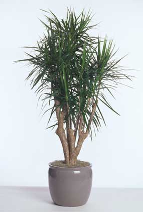 dracaena-marginata-stump-acclimated