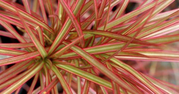 Dracaena marginata tricolor upclose