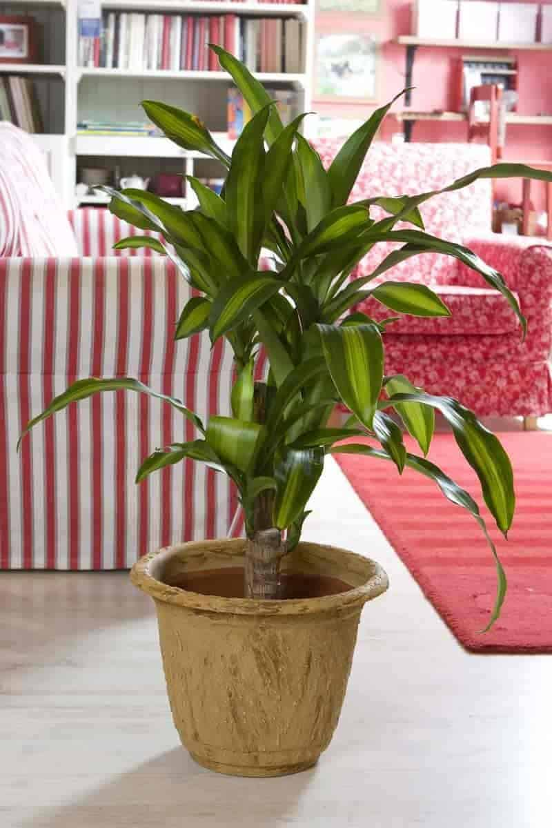 potted dracaena fragrant Massangeana