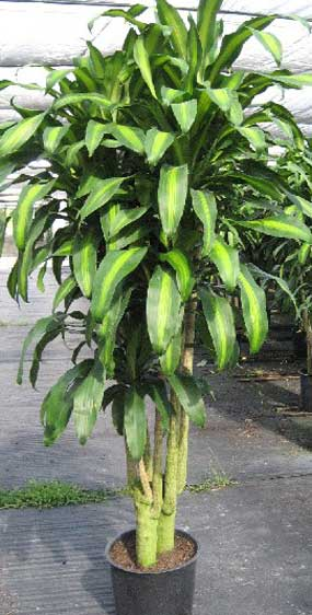 dracaena mass mature plant