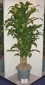 Tall House Plants how to shorten tall house plants -