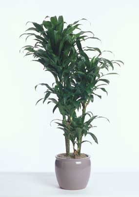 dracaena michiko hawaii