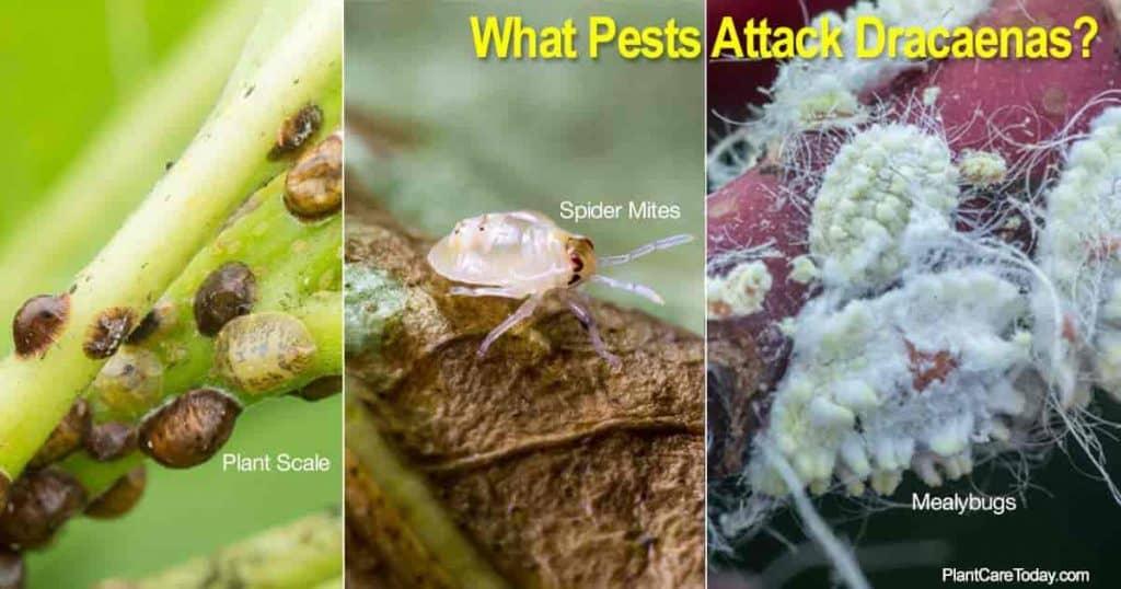 Dracaena pests | Mealybug | Plant Scale | Spider Mites