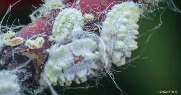 fuzzy mealybug up-close