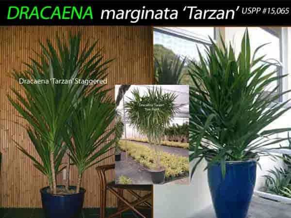 Dracaena tarzan in several forms