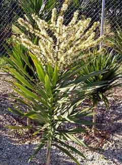 dracaena-tarzan-flower