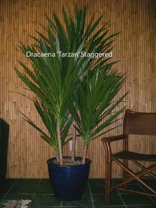 Staggered tips of Dracaena Tarzan