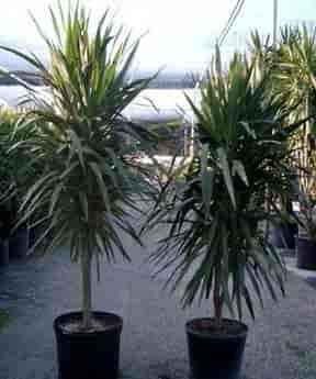 Tree form of Dracaena Tarzan