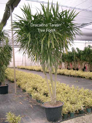 dracaena-tarzan-tree