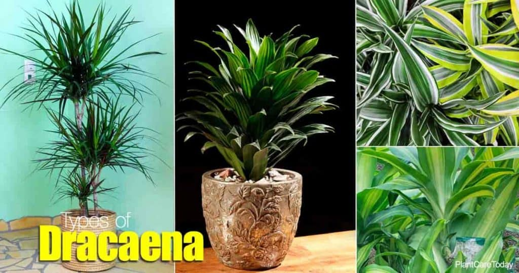Types of Dracaena - marginata, janet craig, warneckii, lemon line, massangeana