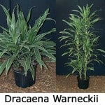 Dracaena Warneckii – The Outstanding Interior Plant