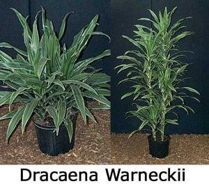 Dracaena warneckii bush and cane