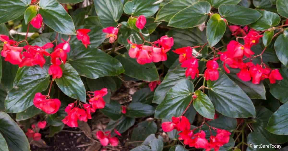 Dragon Wing Begonia Plant Growing And Care Tips