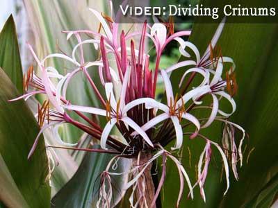dividing crinum lilies