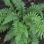 How to Grow and Care for Autumn Fern Plants