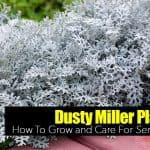 Dusty Miller Plant: How To Grow and Care For Senecio Cineraria
