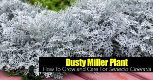 Dusty Miller with its silver leaves does well in seaside settings