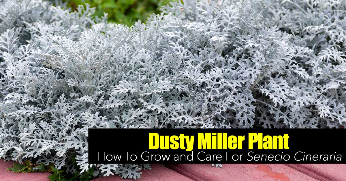 Dusty Miller Plant How To Grow And Care For Senecio Cineraria