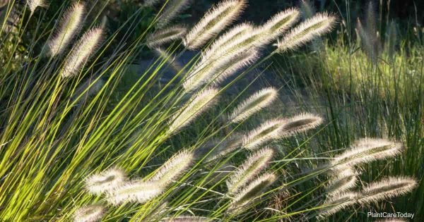 Plumes of the Dwarf Fountain Grass (Pennisetum Alopecuroides)