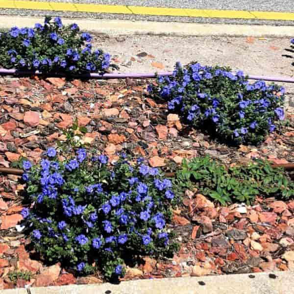 blooming dwarf blue Evolvulus glomeratus