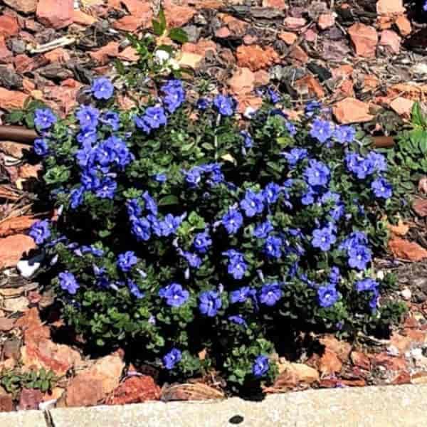 flowering Evolvulus glomeratus