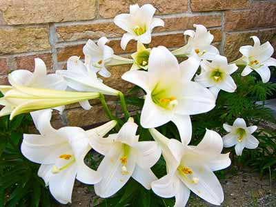 How To Select, Care For and Re-Bloom Your Easter Lily -