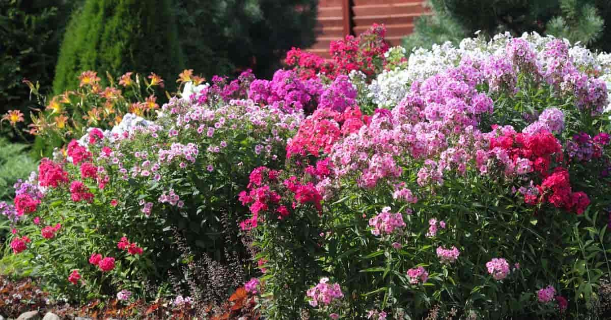 blooming perennial garden flowers