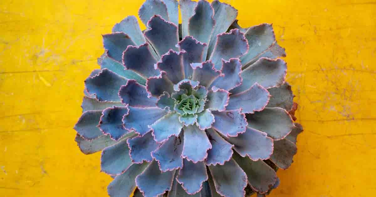 "Blue Echeveria ""Mexican Snowball"" (aka elegans) showing its colors"