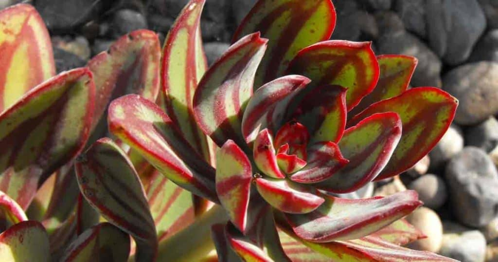 Painted Echeveria, beautiful succulent plant, colorful multicolored foliage